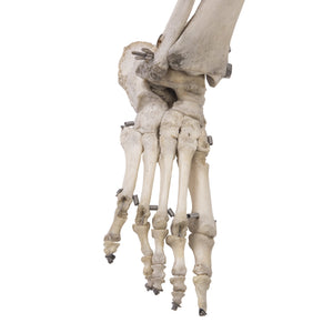 Real Human Leg - (Articulated)
