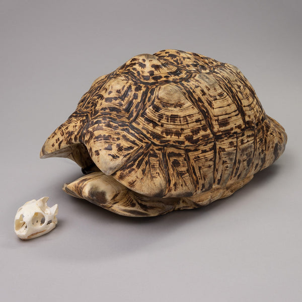 Real Leopard Tortoise Skull and Shell