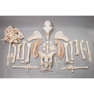 Real Llama Skeleton (Disarticulated)