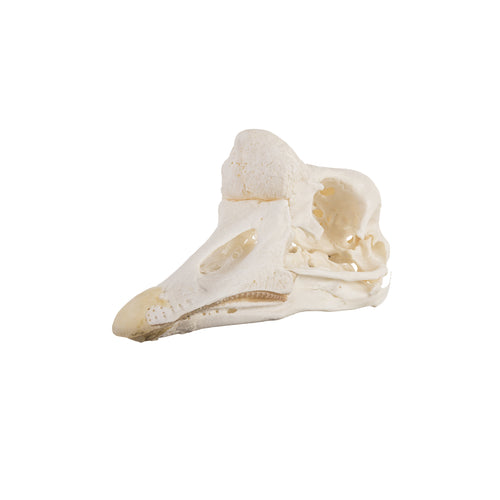 Real Domestic Chinese Goose Skull