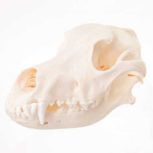 Real Domestic Dog (Siberian Husky) Skull