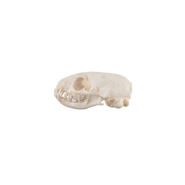 Real Dwarf Mongoose Skull