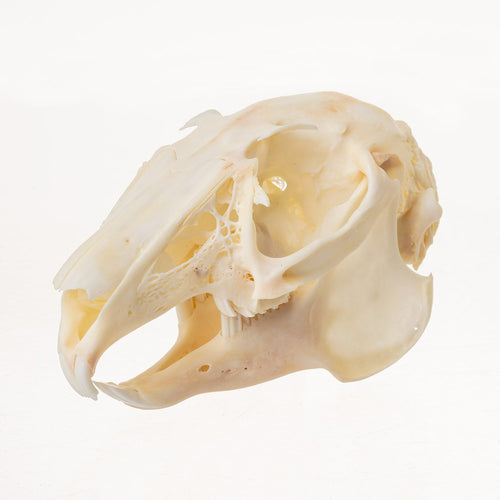 Real Snowshoe Hare Skull