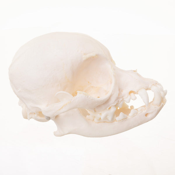 Real Domestic Dog (Chihuahua) Skull