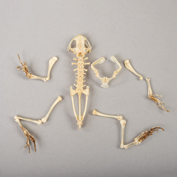 Real Asian Painted Frog Skeleton
