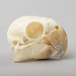 Real Red-Crowned Amazon Skeleton