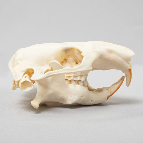Real Mountain Beaver Skeleton