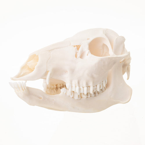 Real Chinese Water Deer Skull