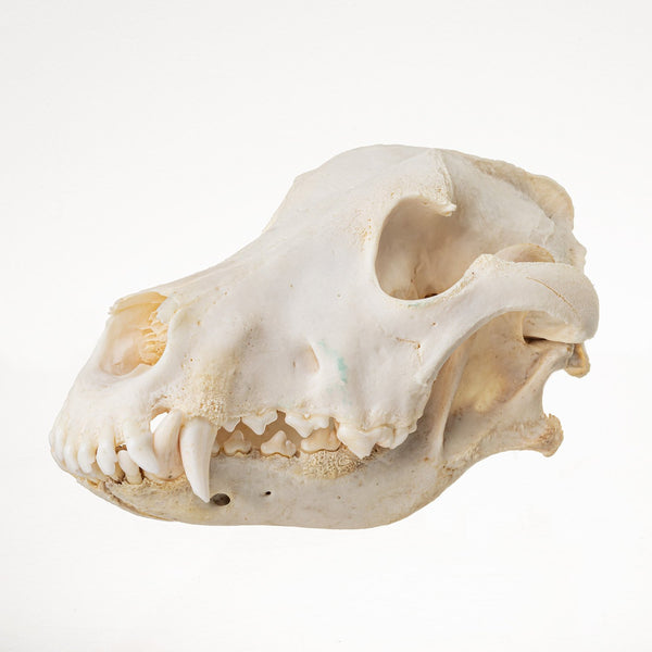 Real Domestic Dog (Weimaraner) Skull
