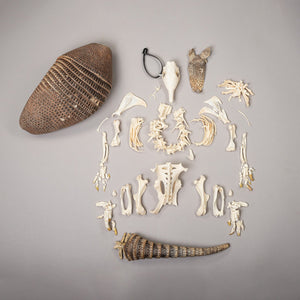 Real Nine-banded Armadillo Skeleton