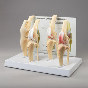 Replica Veterinary Canine Models (Stages of Osteoarthritis, Stifle, and Column)