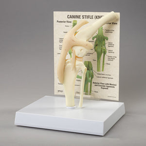 Replica Veterinary Feline and Canine Models (Canine Pelvis, Canine Stifle, and Feline Jaw)