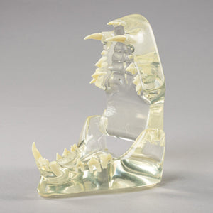 Replica Veterinary Canine and Feline Models (Canine Pelvis, Canine Stifle, and Feline Clear Jaw)