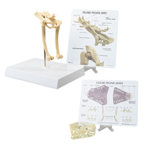 Replica Veterinary Feline Models (Pelvis and Jaw)