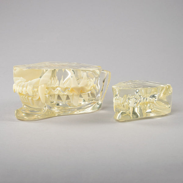 Replica Veterinary Canine and Feline Clear Jaw Models