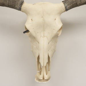 Real Domestic Yak Skull - (Female)