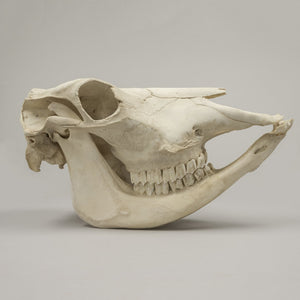 Real Domestic Cow Skull - (Female)