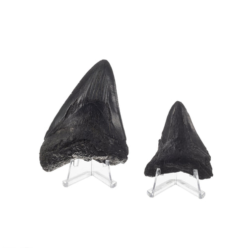 Real Set of Two Megalodon Shark Teeth