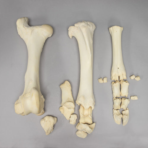 Real Cow Hindlimb