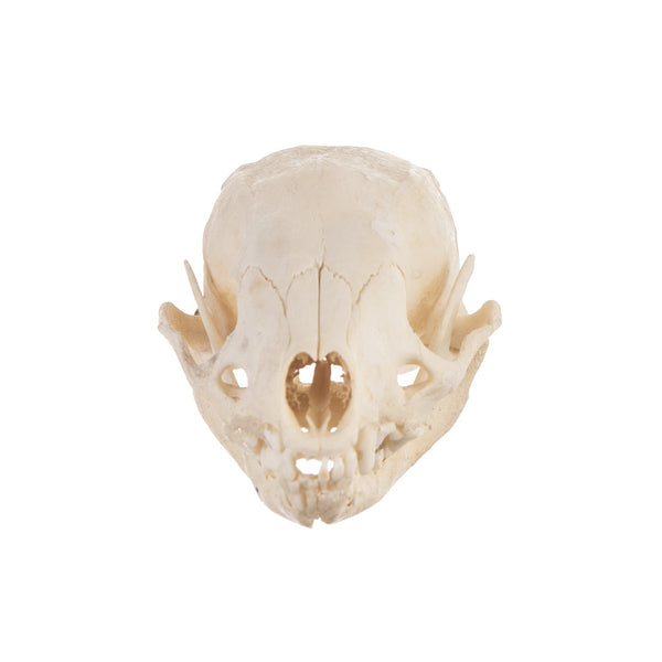 Real Javan Ferret-badger Skull