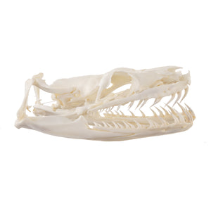 Real Red-tailed Boa Skull