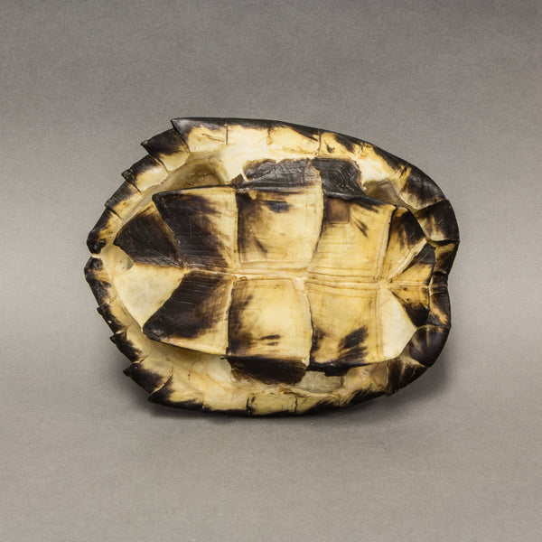 Real Black Marsh Turtle Shell