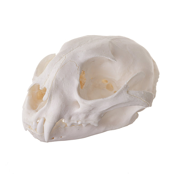 Real Caracal Skull