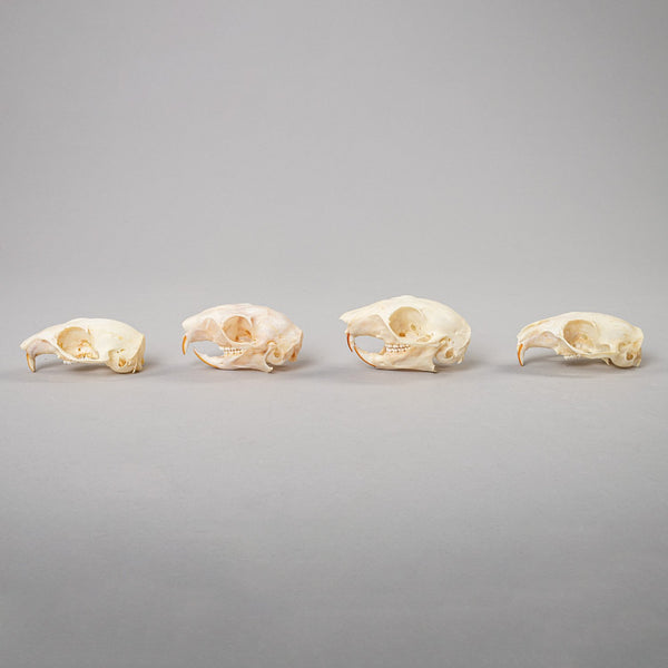 Real Bag-O-Squirrel Skulls (Damaged)