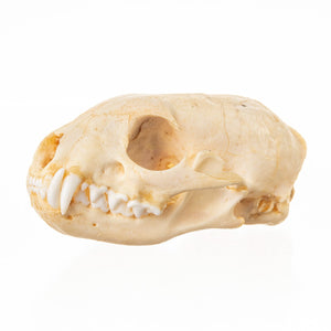 Real Cape Gray Mongoose Skull