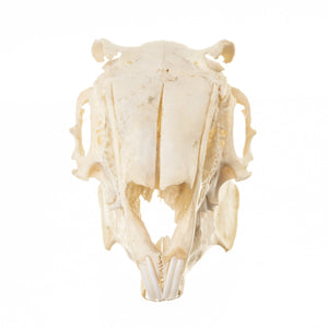 Real Cape Hare Skull