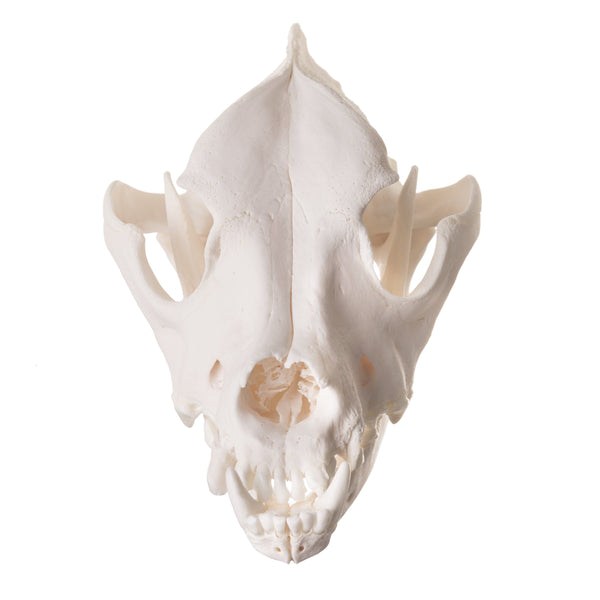 Real Domestic Dog Skull - (Tooth Infection)