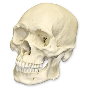 Replica Human Male Asian Robust Skull