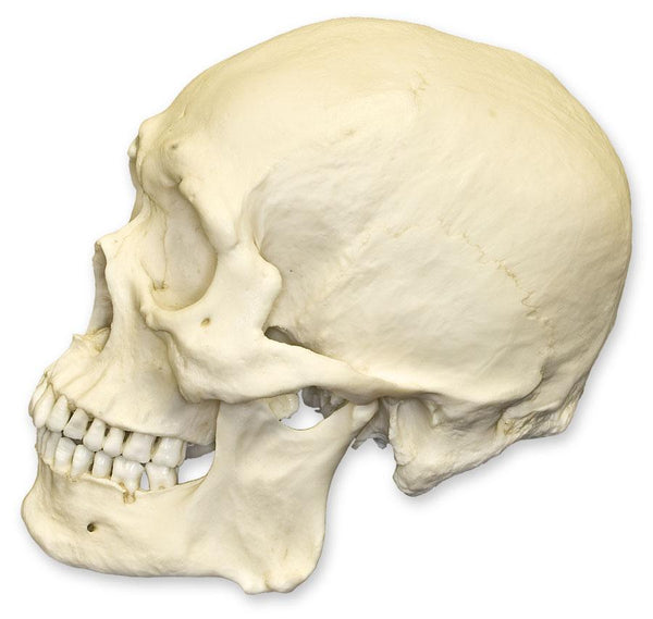 Replica Human Skull - Robust Asian Male