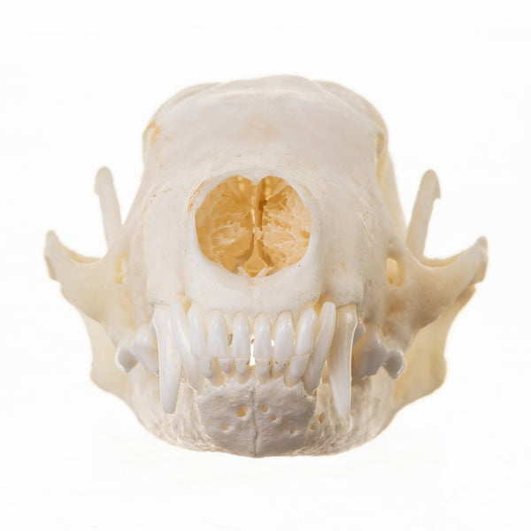 Real Hooded Skunk Skull