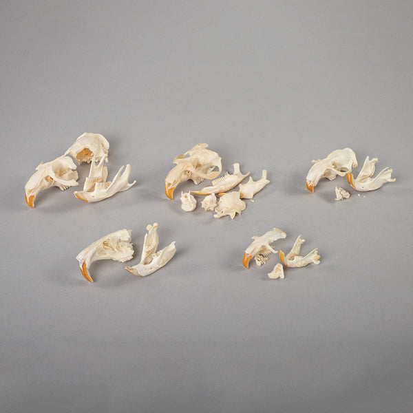 Real Bag-O-Gopher and Muskrat Skulls (Damaged)