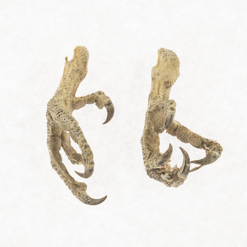 Real Preserved Parrot Feet - (Pair)