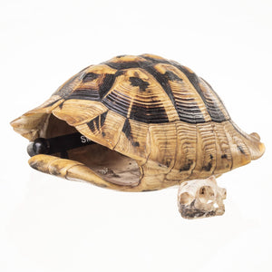 Real Hermann's tortoise Skull and Shell