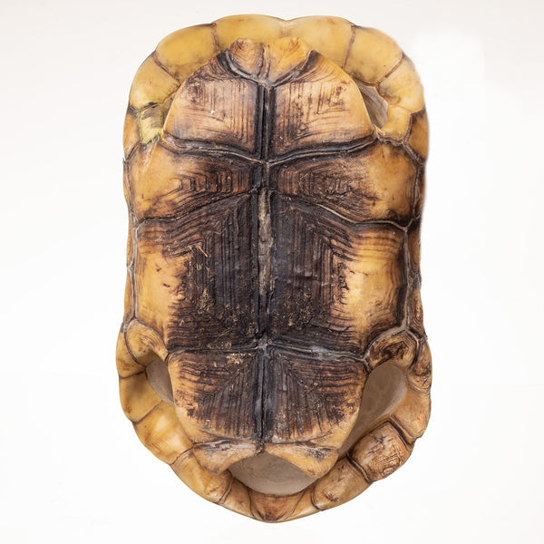 Real Yellow-footed tortoise Shell