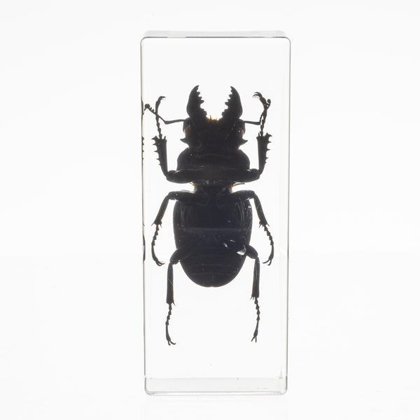Real Insect Display of a Stag Beetle Taxidermy Cast in Acrylic Entomology Collection Paperweight
