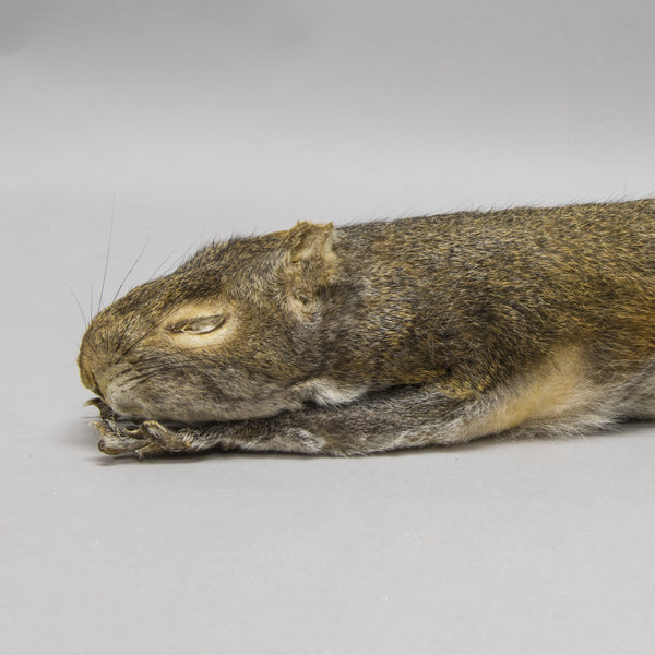 Real Gray Squirrel Study Skin