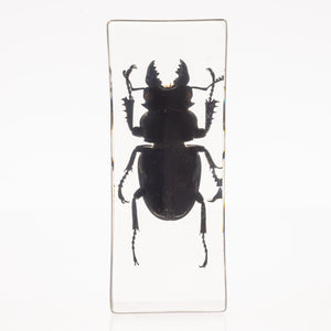 Real Stag Beetle in Acrylic Paperweight