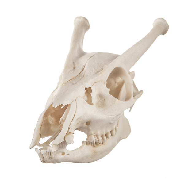 Real Indian Muntjac Skull