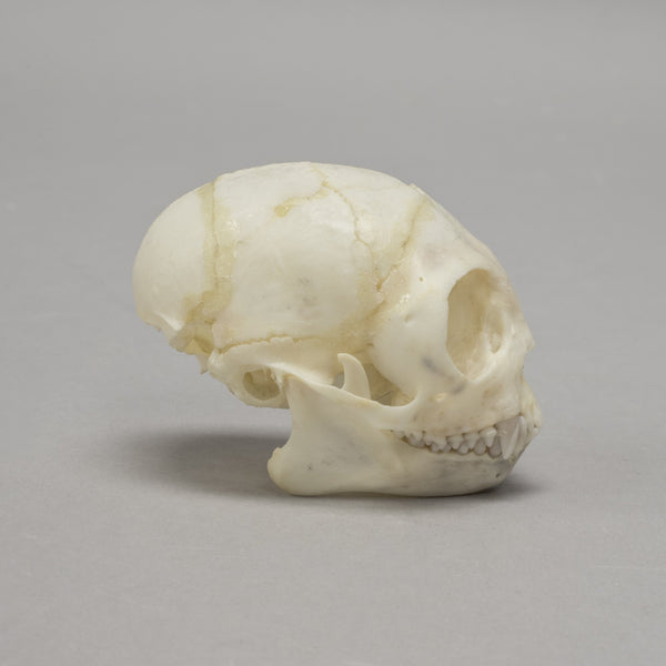 Real Moustached Tamarin Skeleton