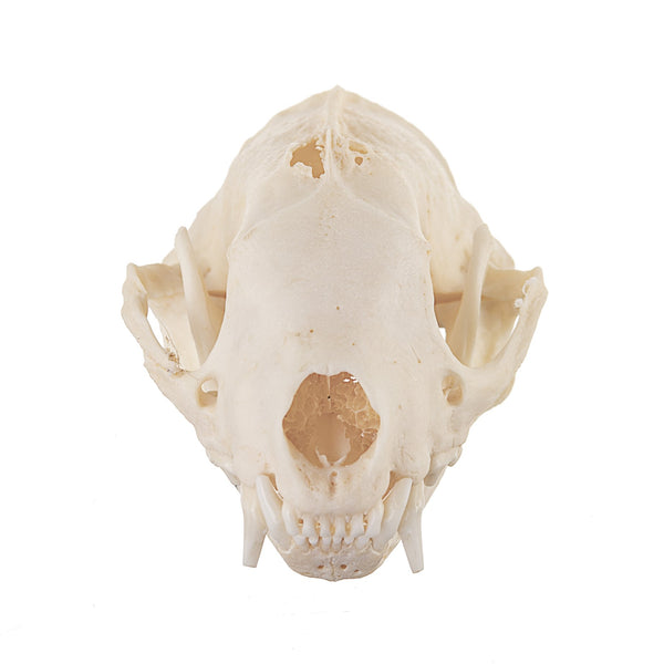 Real Striped Skunk Skull - (Pathology)