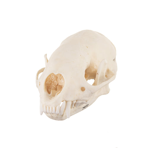 Real Hog-nosed Skunk Skull