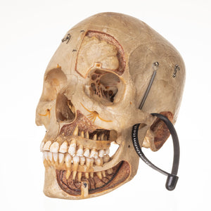 Real Antique Human Skull (Dissected)