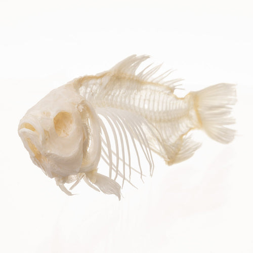 Real Carp Economy Skeleton