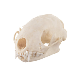 Real Eastern Spotted Skunk Skull