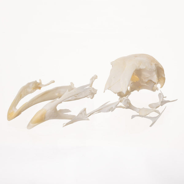 Real Chicken Skull (Damaged)