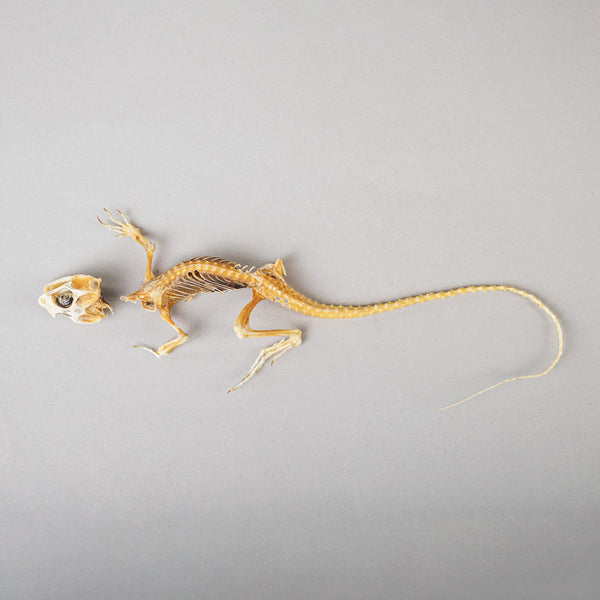 Real Lizard Skeleton (Dried)